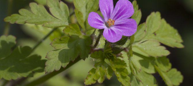 Geranio purpureo (Geranium purpureum Vill.)